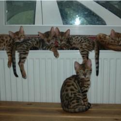 Wunderschöne  Bengal Babies suchen ab  ein neues zu Hause!